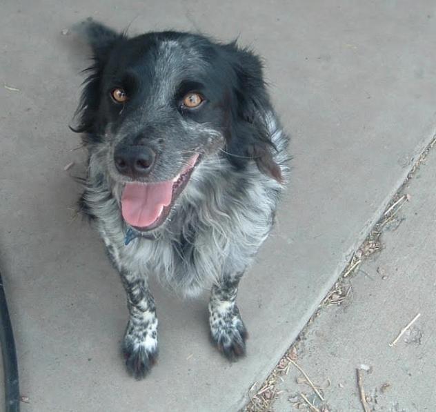 Adopt Skipper on Collie mix, Australian shepherd, Border