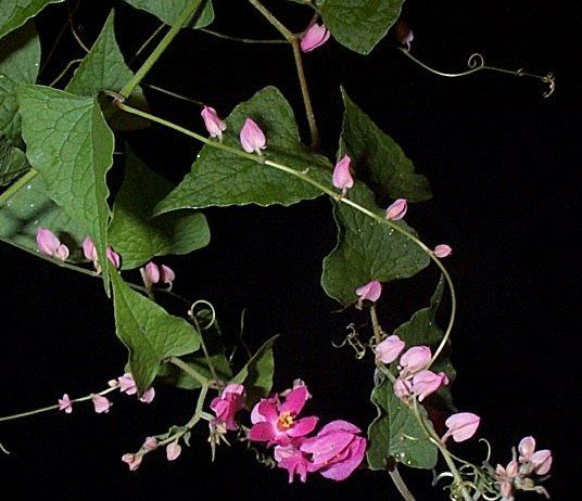 Coral Vine Nctr Not Native Is A Native Of Mexico It Is A Fast Growing Evergreen Vine Climbing With Tendrils That Will Reach 40 Feet 13 Evergreen Vines Flowering Vines Vines