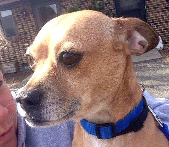 Muggin Dog For Adoption In Westmont Il Adn 465376 On Puppyfinder