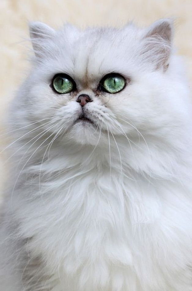 Colourfulxmas Couldn T Find A Chinchilla Persian As Beautiful As Mine But The Eye Colour Is Quite Clos Persian Cat Persian Kittens Persian Cat White