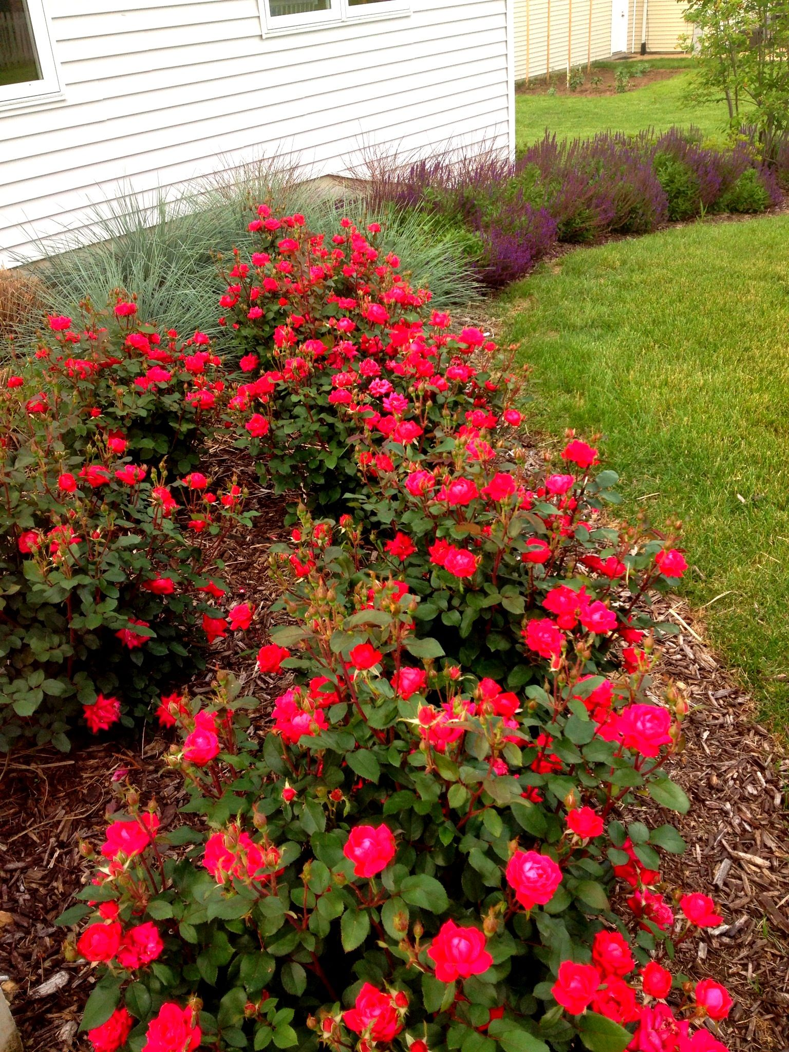 Roses In Garden: Hedges And Roses