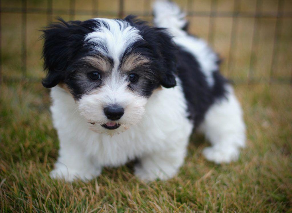 Shichon Sweet And Playful Teddy Bear Crossbreed Bear Dog