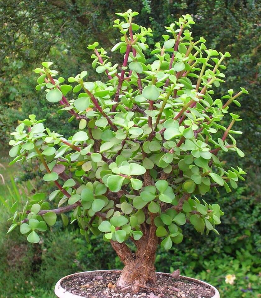 Elephant bush portulacaria afra horticulture for In a garden 26 trees are planted