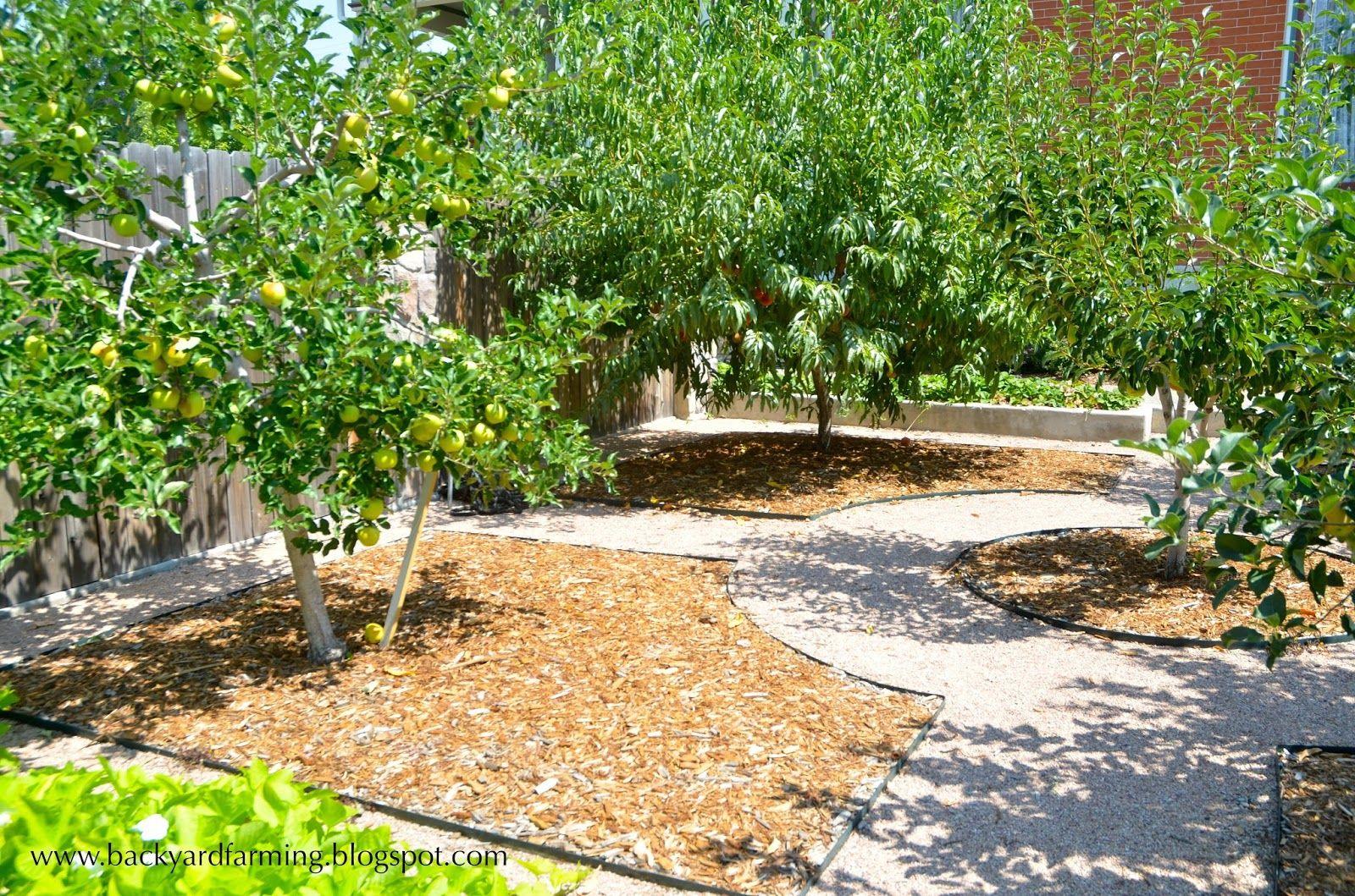 dwarf fruit tree backyard orchard design | bed of ...