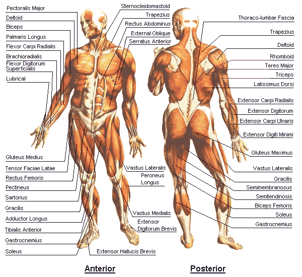 best way to use this chart is to locate a muscle and see how it is, Muscles