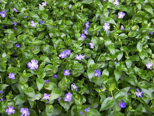 Vinca major google search large periwinkle 214 plant for Vinca major
