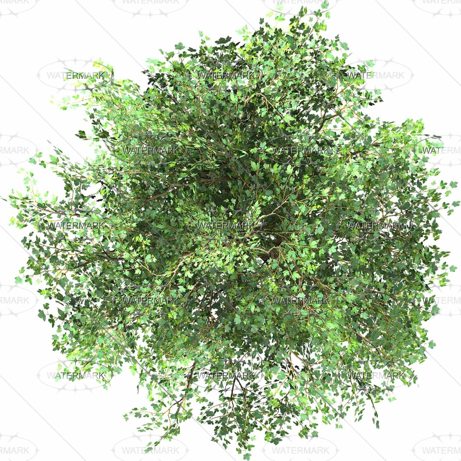 Plants Top View Of Pedunculate Oak Tree Isolated On White Mesmerizing Plan Tree Photoshop Trees Top View Tree Plan Png