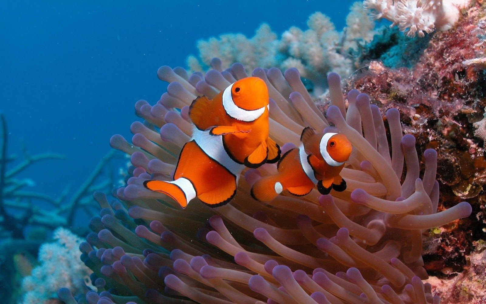 Ocean Animals Clown Fish