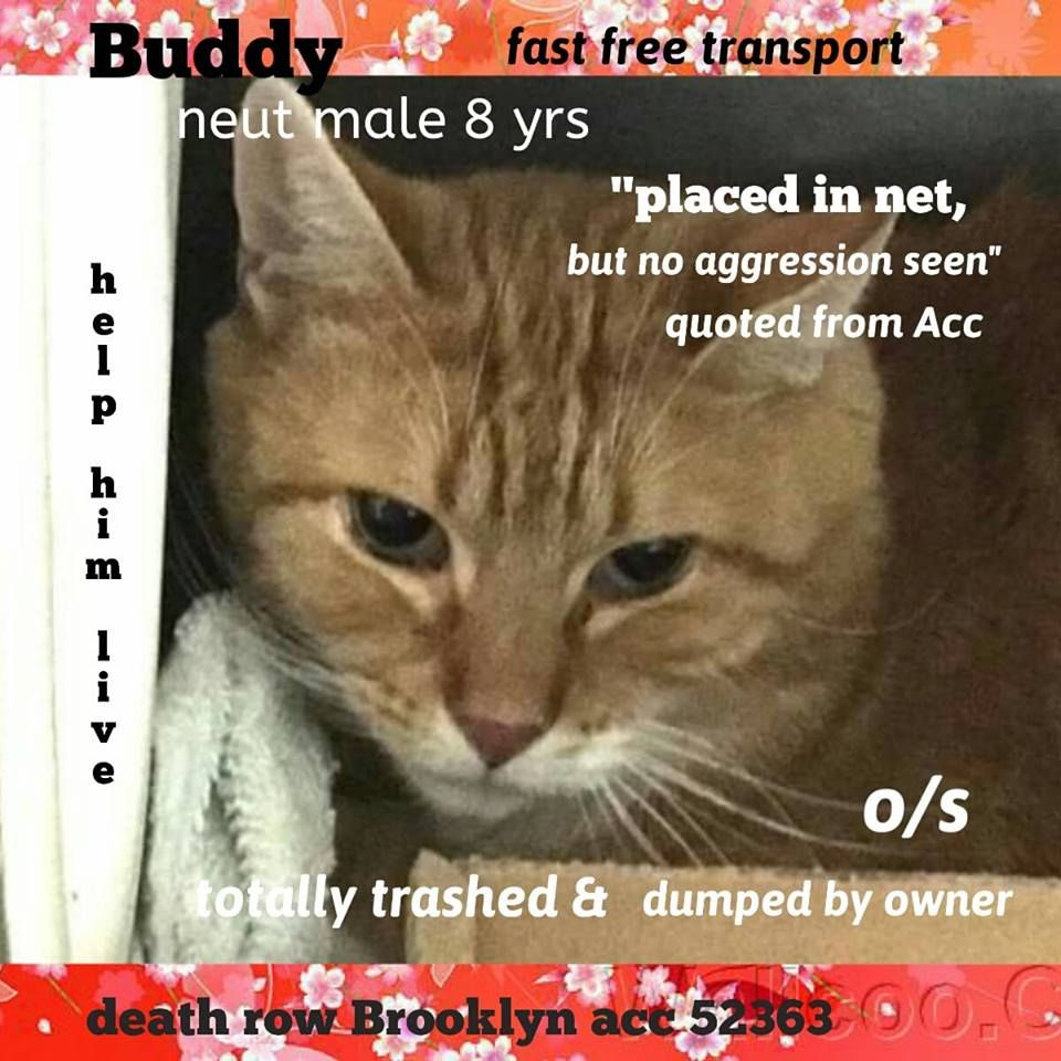 Safe Tbd Good Guy Buddy 52363 8 Years Old Desexed Male Who Was Cruelly Dumped At The Brooklyn Center For 2 Years Buddy Cats Foster Cat Cat Adoption