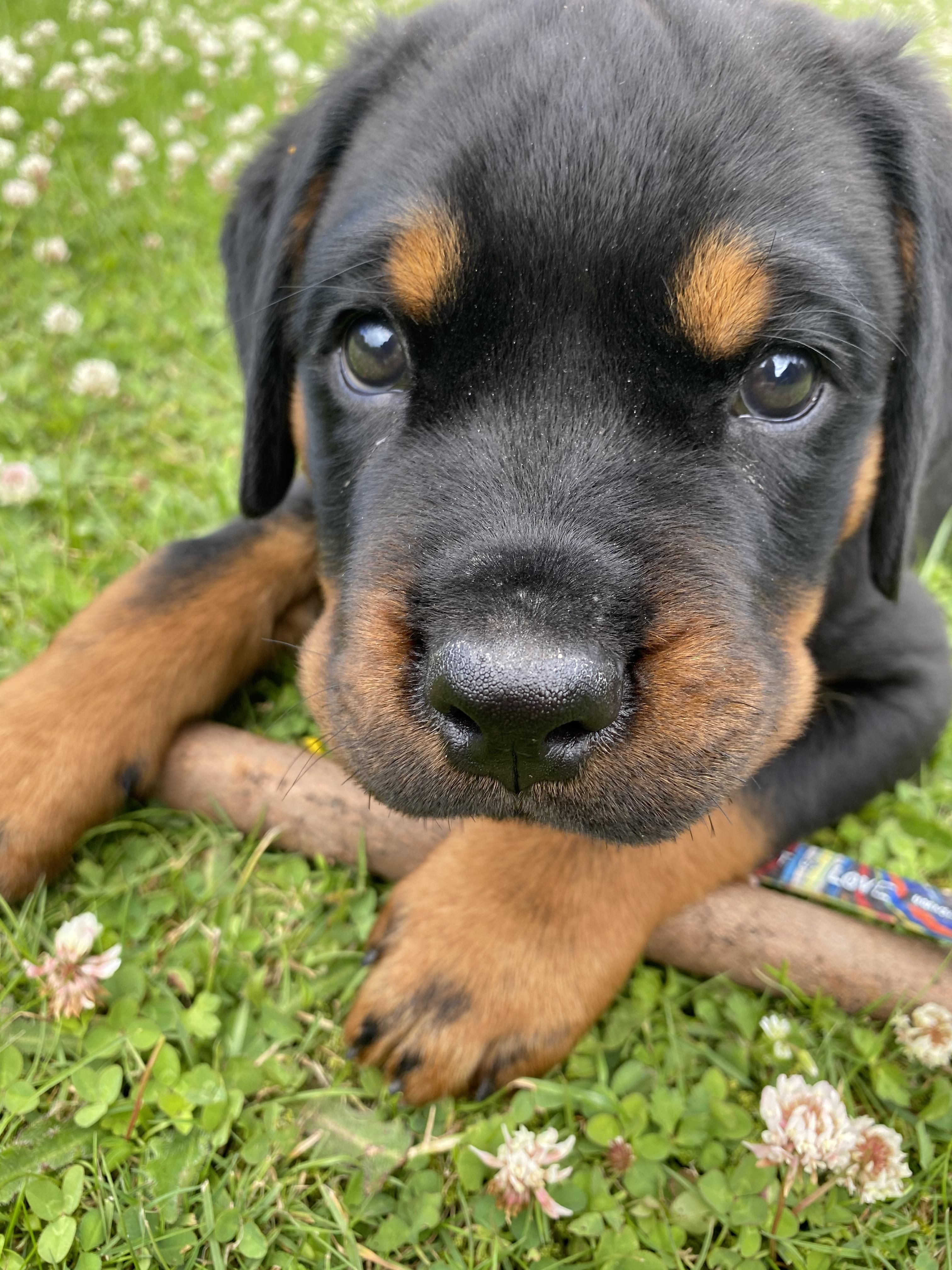 This Is My New Puppy Adorable Rottweilers In 2020 Rottweiler