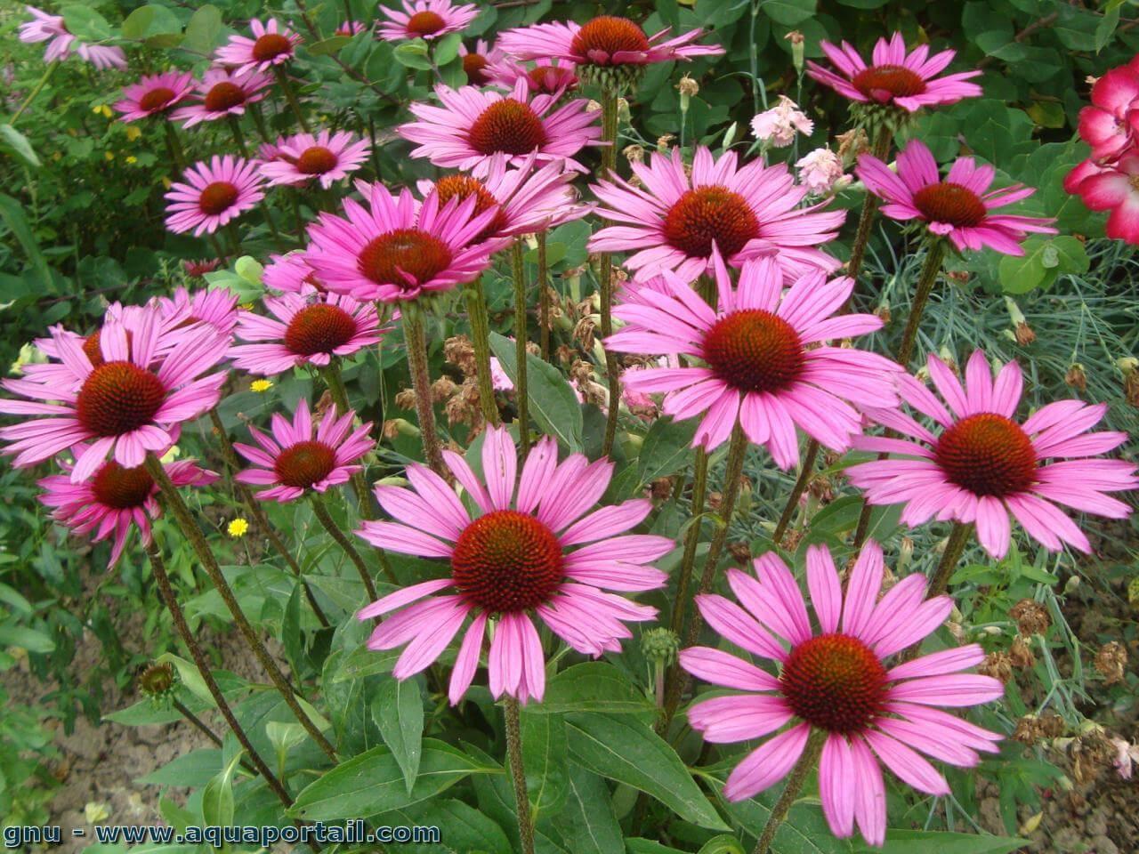 Coneflower Rudbeckia Graines Rare Vivace Bonsa/ï Plante Fleurs Ornementales pour Jardin Cour Balcon