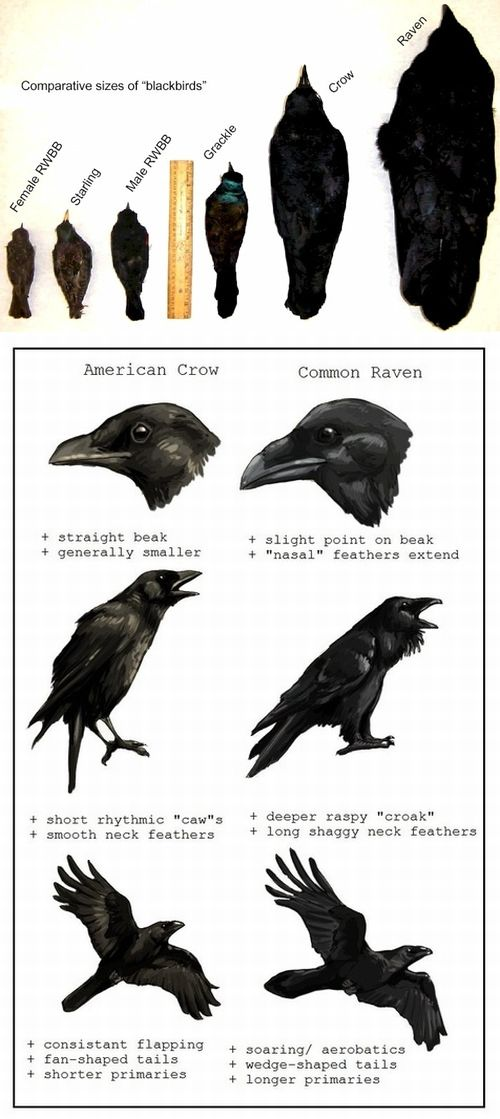 Theres really no such animal as a blackbird