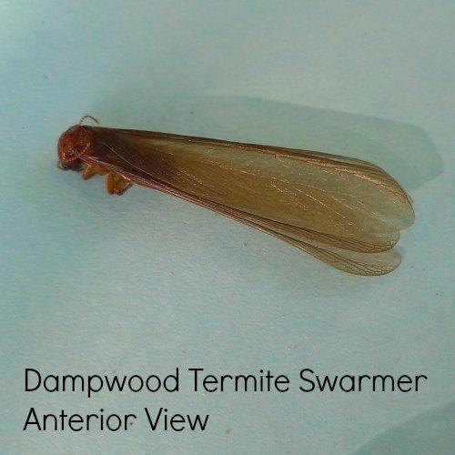 Dampwood Termite Swarmer Anterior View Termites Termite Swarmers Termite Pest Control