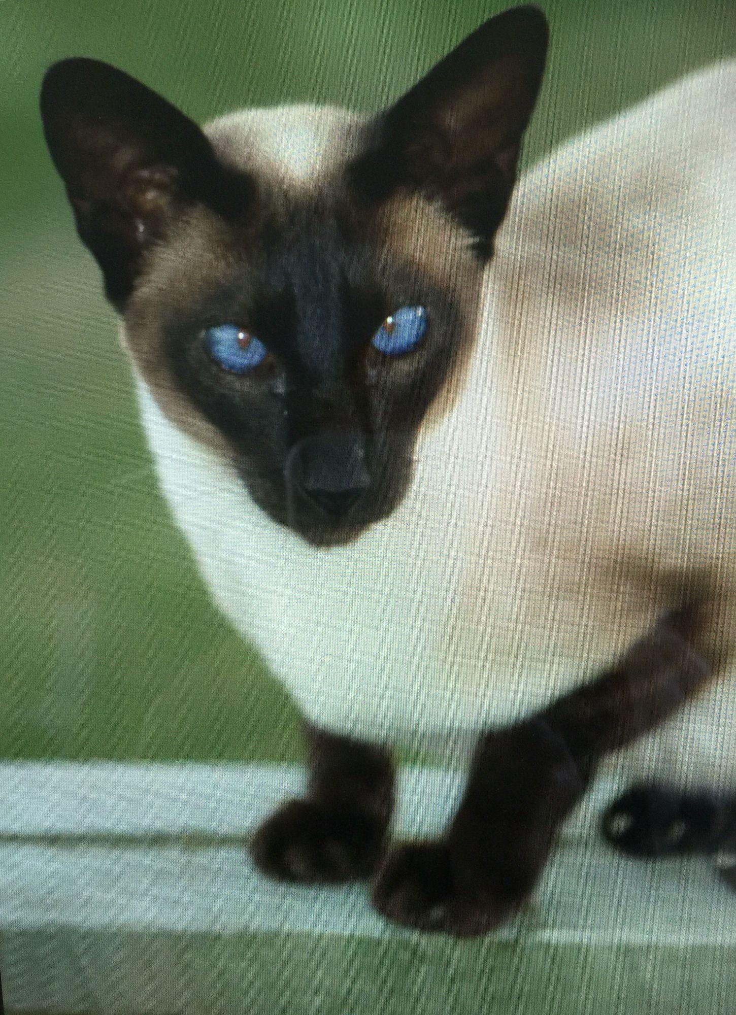 Star Blaze an exceptional companion Siamese cats