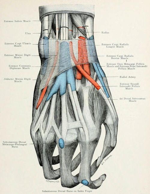 Tendons and bursa of index finger. The tendons of the hand wrap very ...