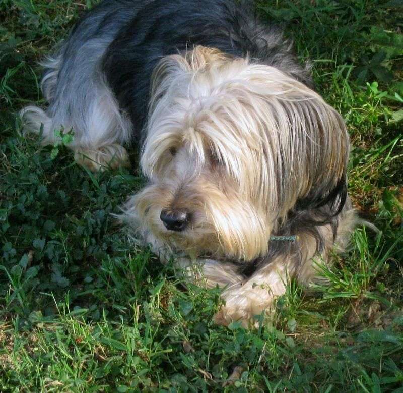 Adopt Bella on | Yorkie dogs, Poodle mix dogs, Terrier ...