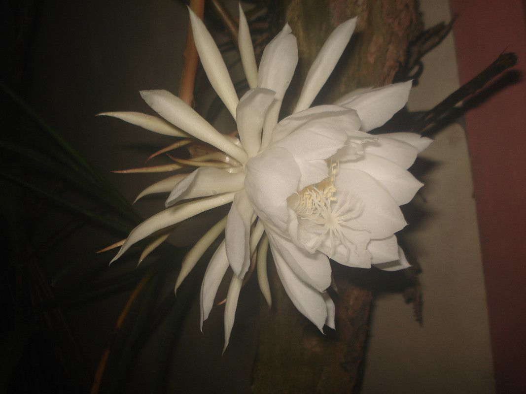 Is This A Moonflower Philippines Just Bloomed A Few Hours Ago Http Earth66 Com Botanical Moonflower Philippines Moon Flower Botanical Botanical Gardens