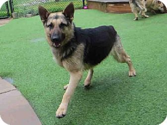 Raleigh Nc German Shepherd Dog Meet Elka A Dog For Adoption