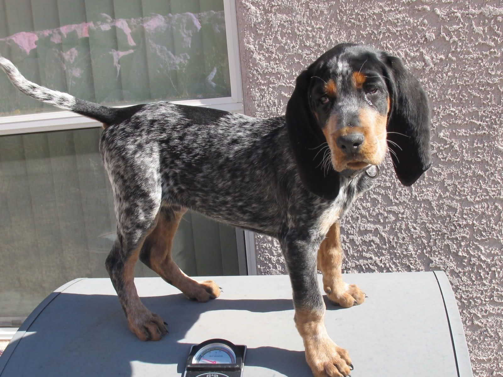 Bluetick coonhound dog grand bleu de gascogne hounds