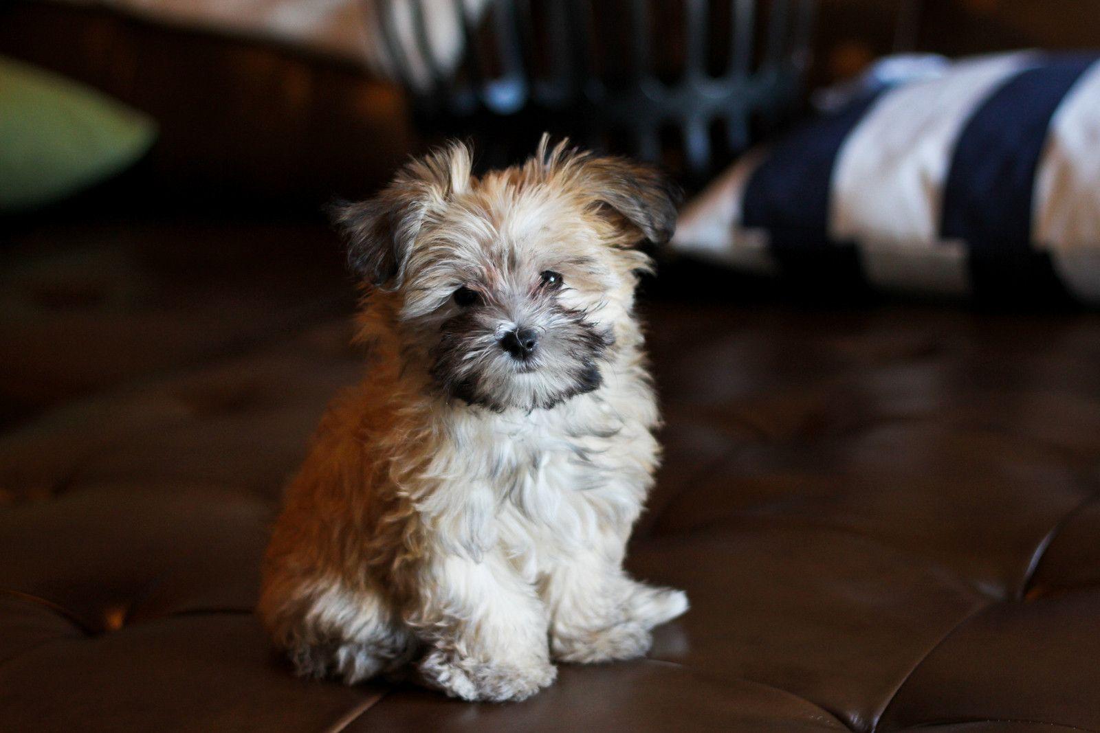 Mcgrath Alby Q Puppy Bethany Mcgrath Puppies Maltipoo Dog