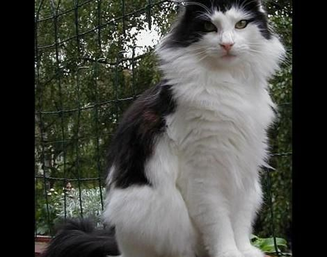 Pictures of Norwegian Forest