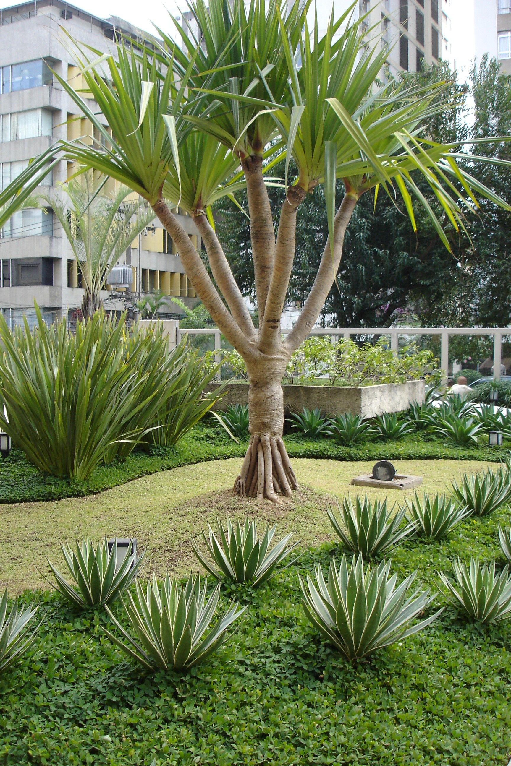 P ndanus para o jardim de entrada de um edif cio comercial for Jardins tropicaux contemporains
