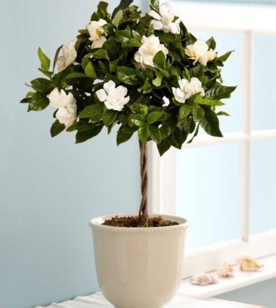 The Key To A Good Night S Sleep These Bedroom Plants Gardenia Plant Growing Gardenias Plants