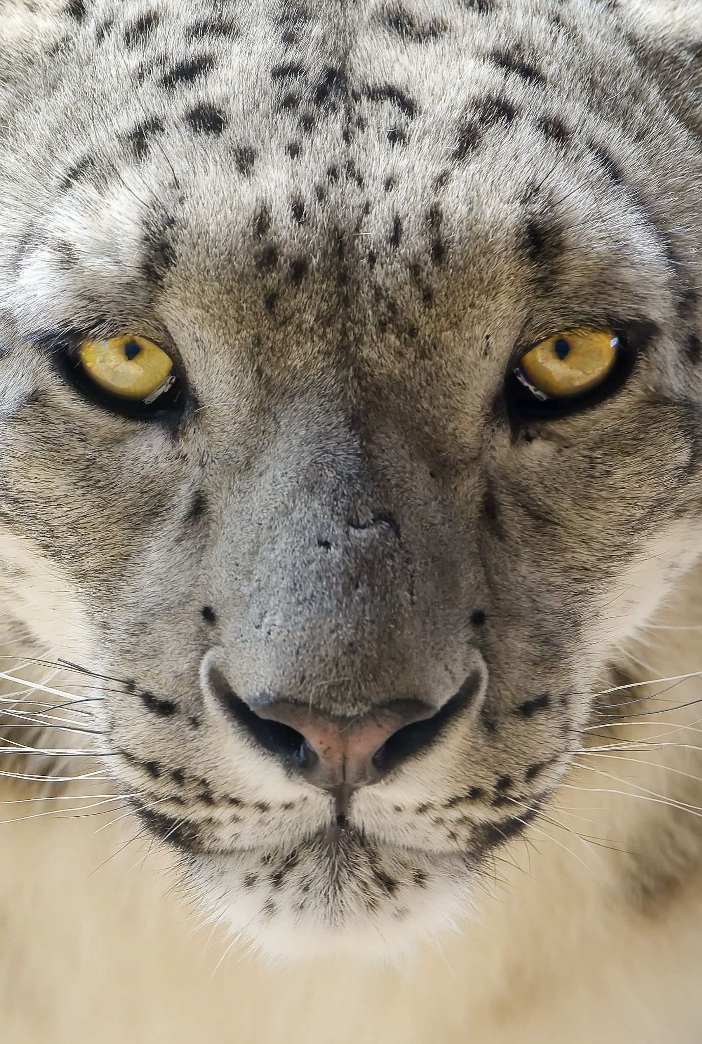 I See Your Soul. by Paul Shaw on 500px Big cats, Animals