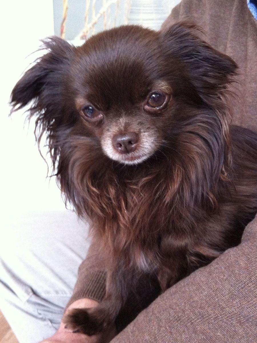 Wunderschoner Schoko Mini Chihuahua With Images Chihuahua