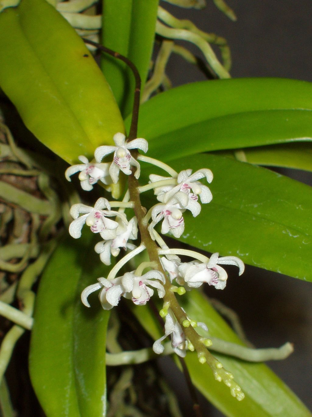 Brachypeza Archytas Orchid Flower Miniature Orchids Orchid Images