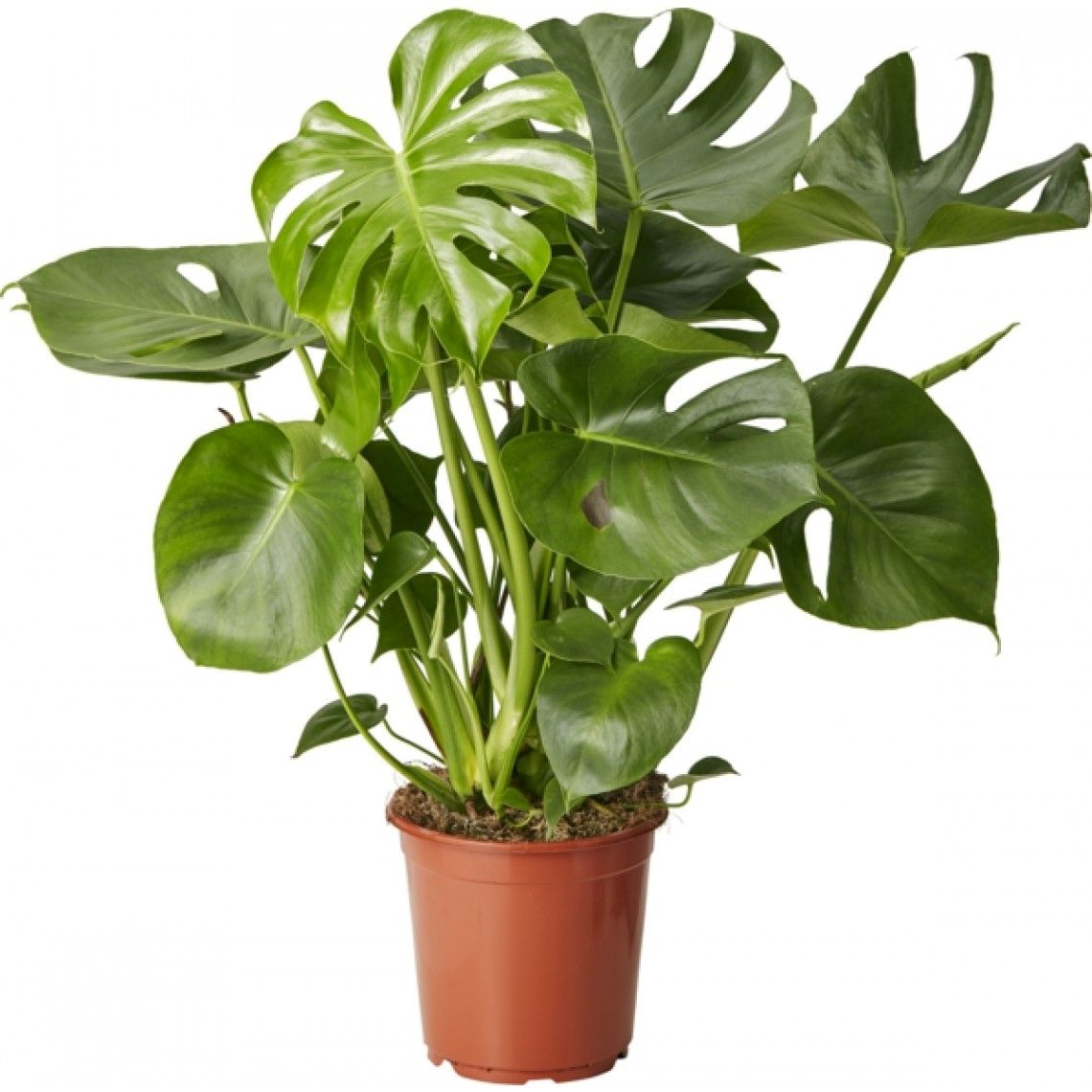 Monstera Deliciosa Touffe 21cm Wishlist Pinterest