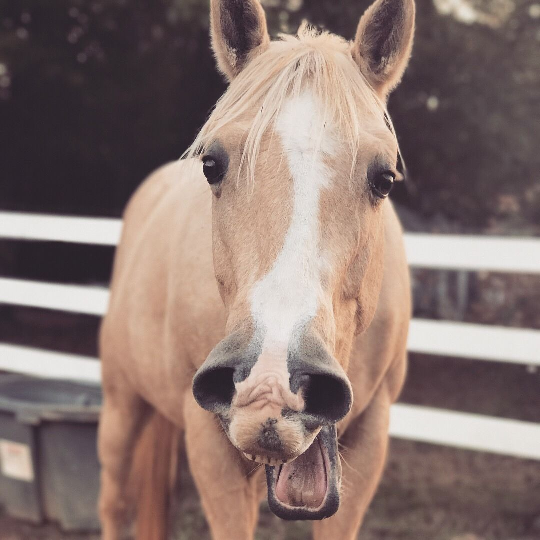 This horse looks like Mr. Ed and is making the same face