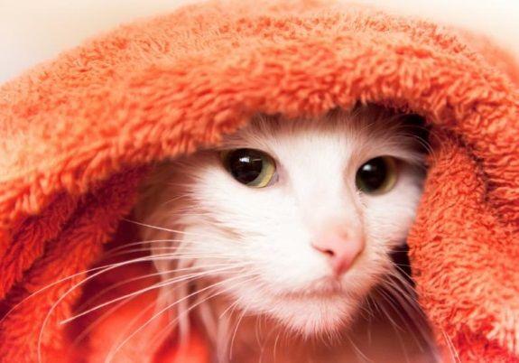 Como proteger a saúde do gato na hora do banho