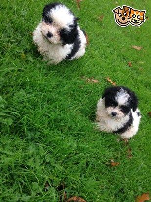 Beautiful Cavachon Salisbury Wiltshire Pets4homes Cavachon Beautiful Puppies