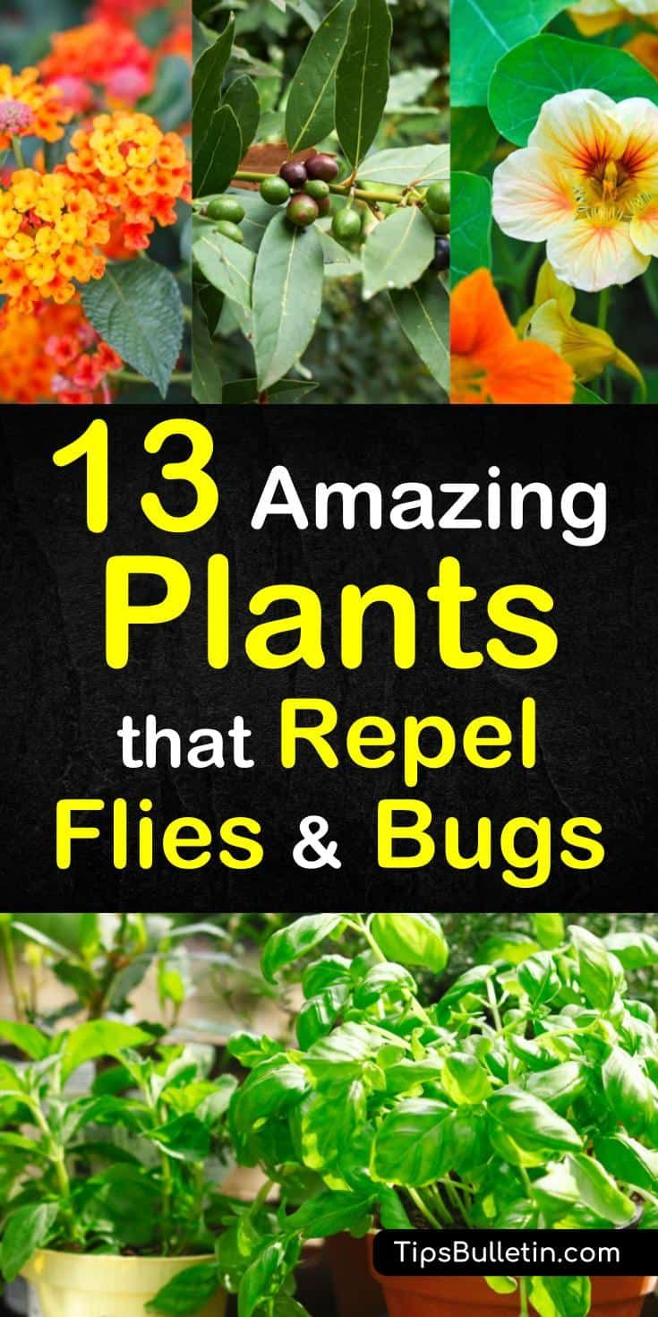 13 Amazing Plants that Repel Flies and Bugs