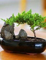 Image result for Juniper Bonsai foliage