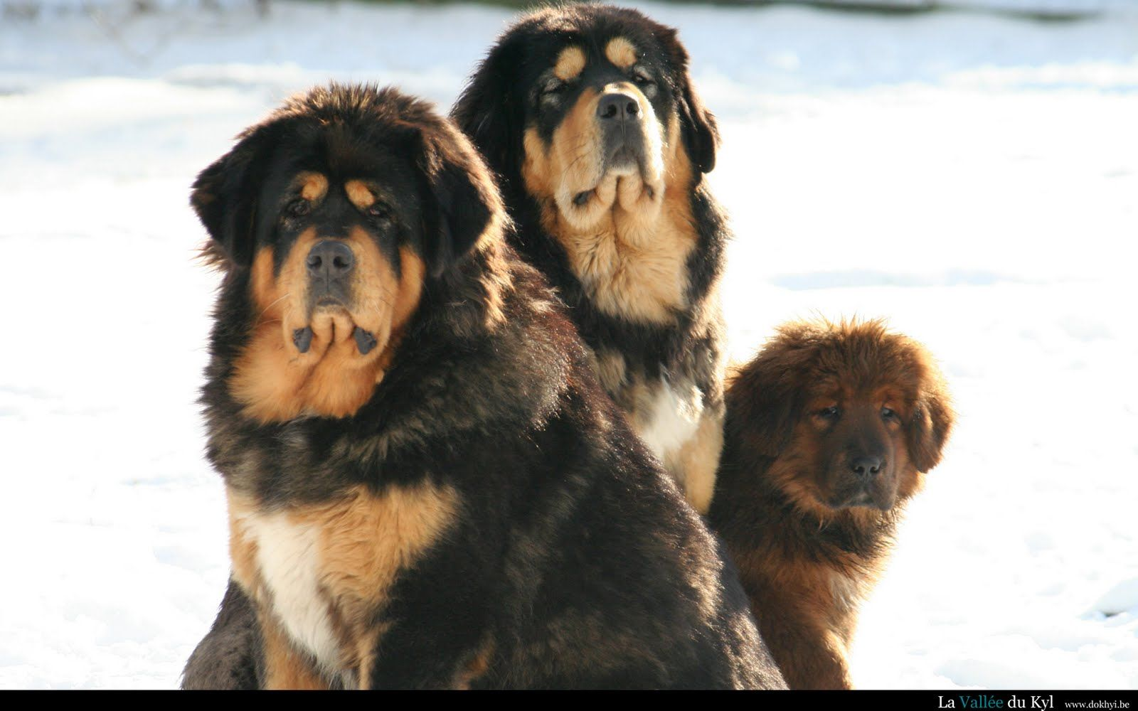 Tibetan Mastiff Dogs Tibetan Mastiff Dog Mastiff Puppies Large