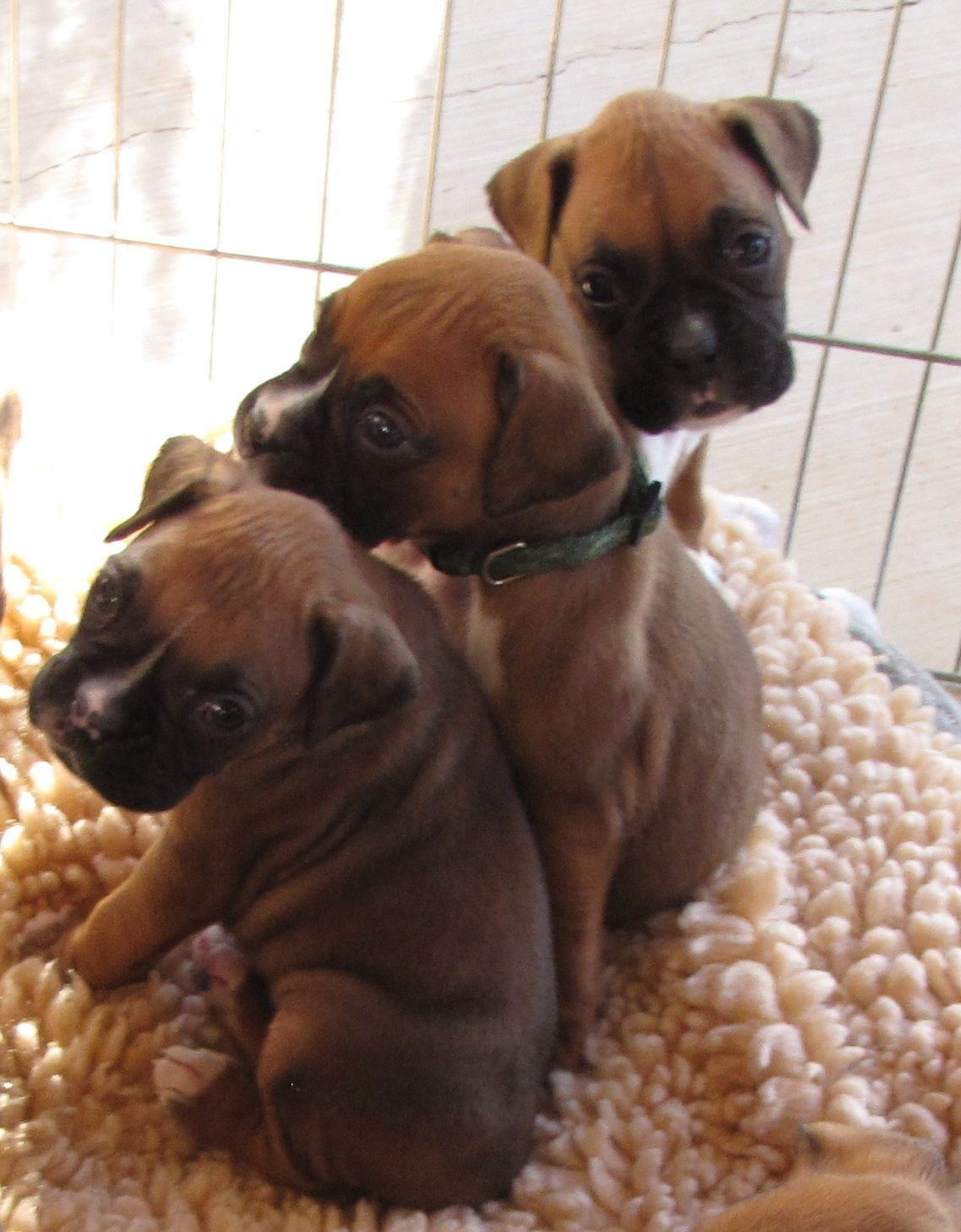 Reo Boxers Newest Litter 4 Weeks Old Now Reoboxers Com Boxer Love Boxer Puppies Boxer And Baby