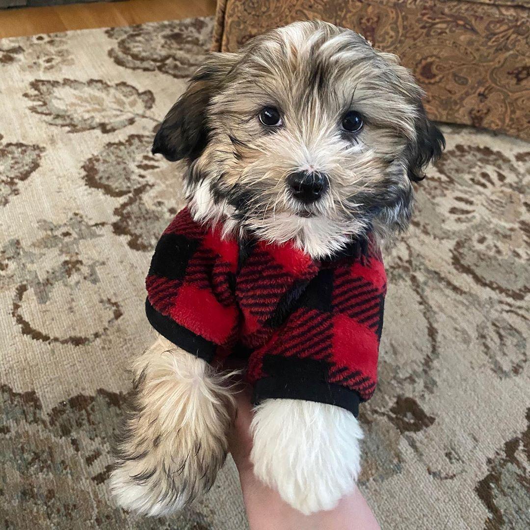 Daisy cute havanese puppies home in 2020 havanese
