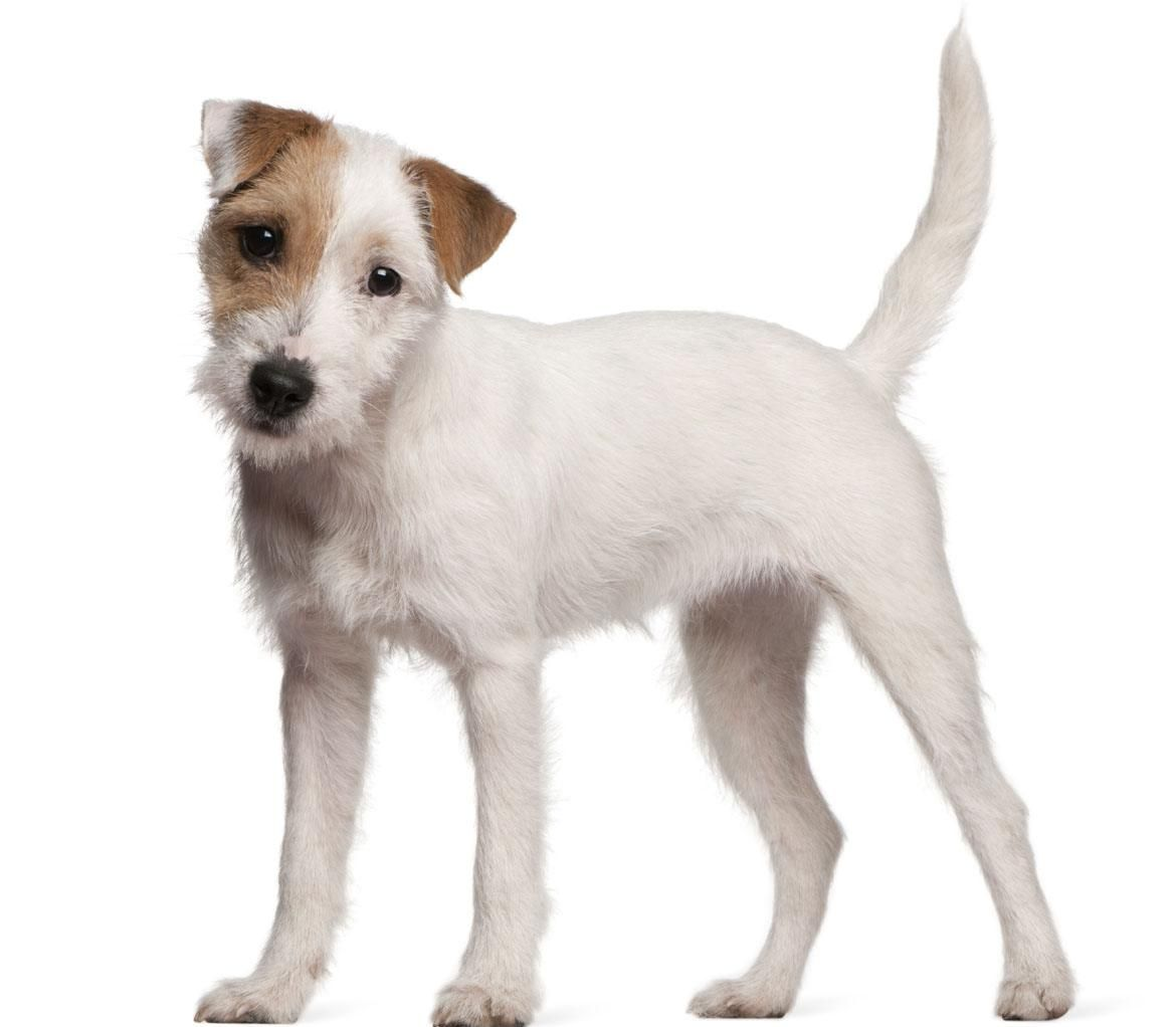 Parson Russell Terrier Dog Breed Guide Parson Russell Terrier Terrier Puppy Terrier