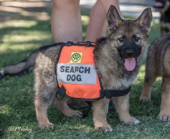 Search Rescue Puppy Training Search Rescue Dogs Dog Search Dogs