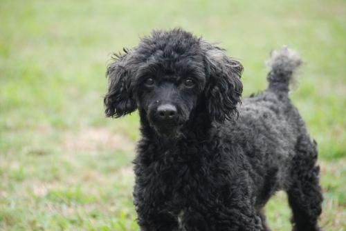 Meet Honey Bear Of Charleston W Va A Petfinder Adoptable Poodle