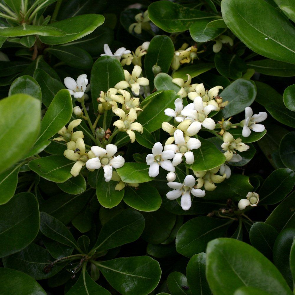 Pittosporum Tobira Nanum Small Low Growing Evergreen Shrub