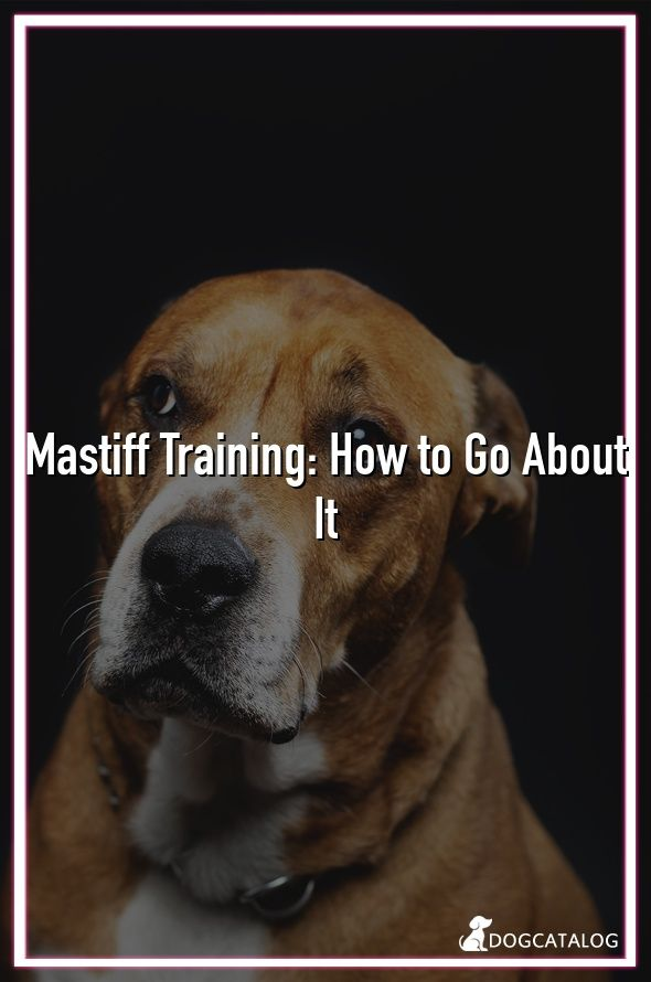 Mastiff Training How To Go About It Food Aggression In Dogs
