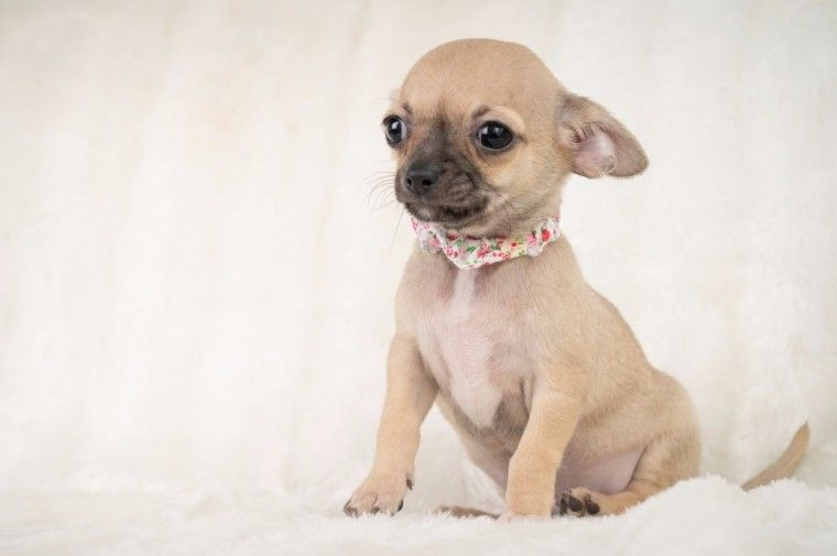Teacup Chihuahua Puppies Extremely Cute Teacup Chihuahua Puppies