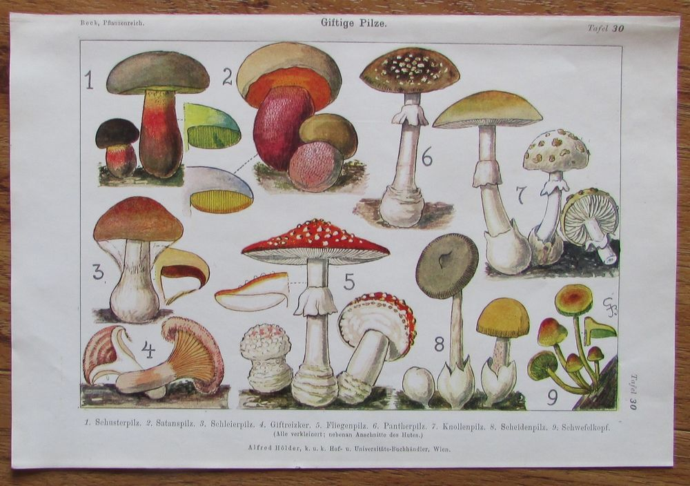 Giftige Pilze 1916 Farbdruck Antique Print Lithographie Botanik Giftige Pilze Botanik Blumen Pflanzen