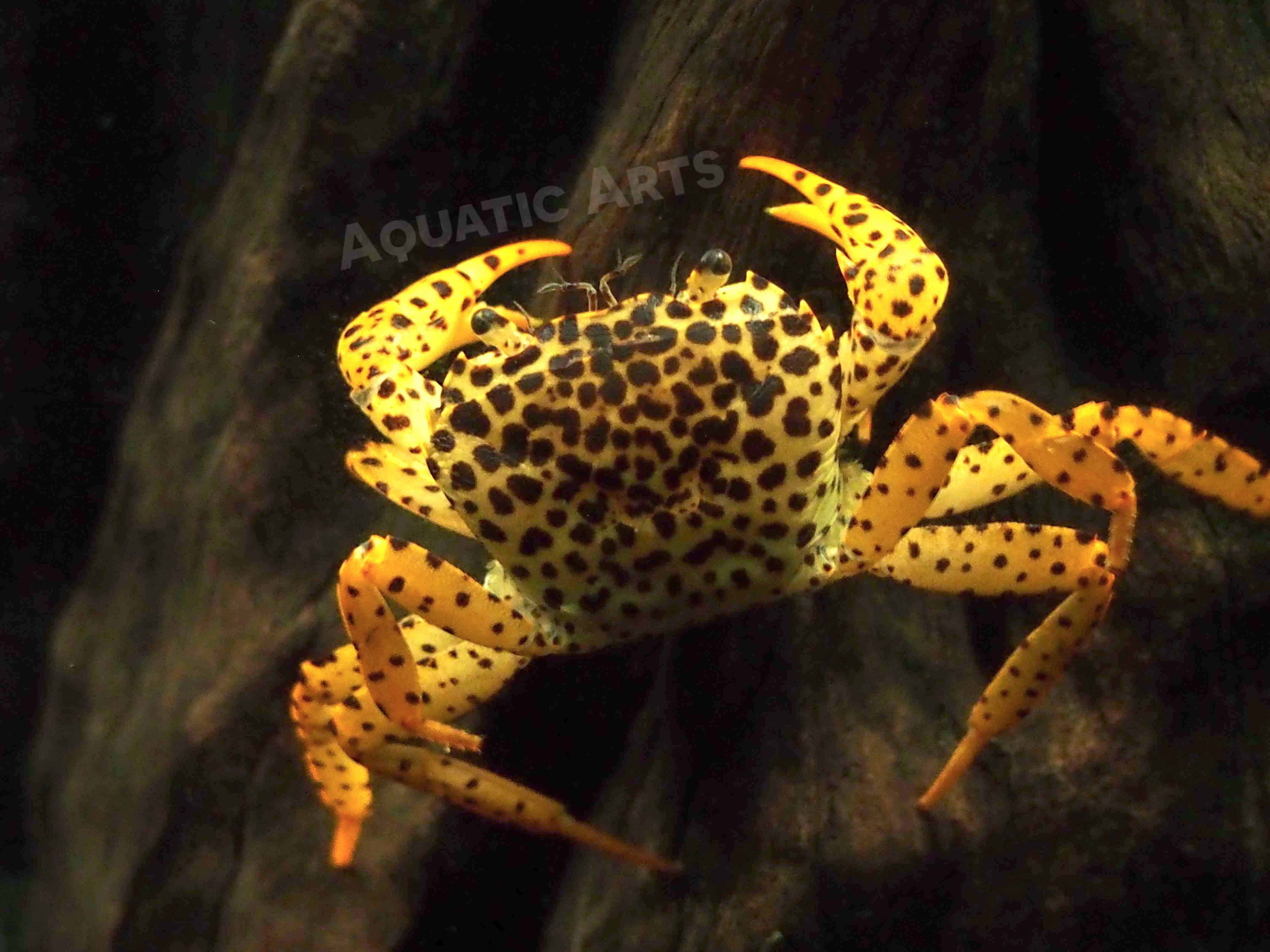 Freshwater aquarium fish for sale philippines - 1 Live Panther Crab Parathelphusa Pantherina Inch Juvenile Fully Aquatic Crayfish Alternative By Aquatic Arts