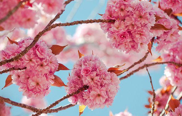 200 000 Views Today Kanzan Flowering Cherry Blossoms Prunus Serrulata Kwanzan Prunus Serrulata Garden Plants Cherry Tree