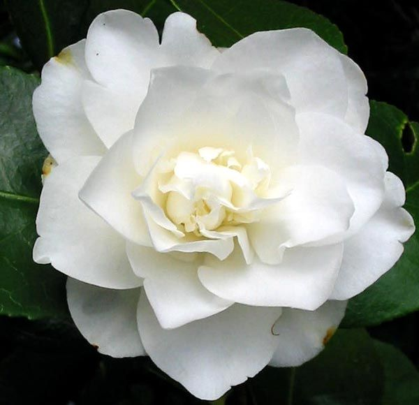 Most beautiful pure double petal camellias i just planted in my new fifth avenue white camellia japonica live plant full gallon pot please continue read mightylinksfo