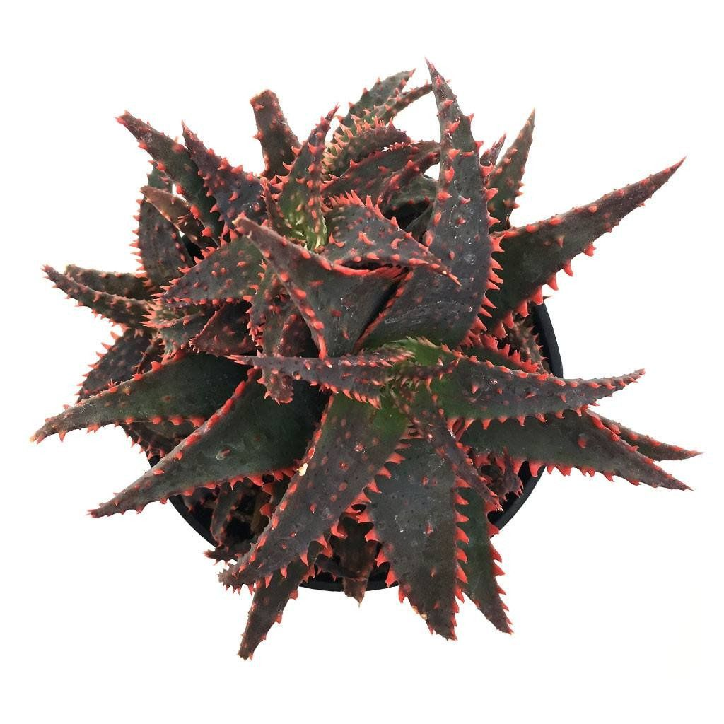 Aloe Christmas Sleigh Red Succulents Succulents